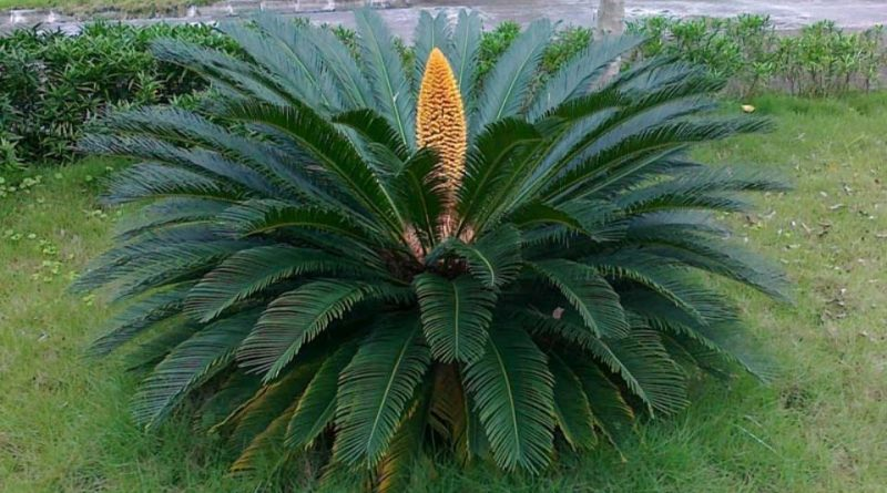 Structural Features Of Cycas – Botany Notes – For W.B.C.S. Examination.