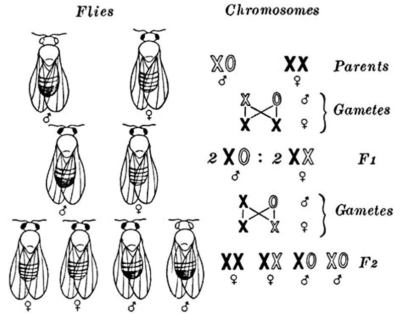 Sex-linked Inheritance In Drosophila – Zoology Notes – For W.B.C.S. Examination.