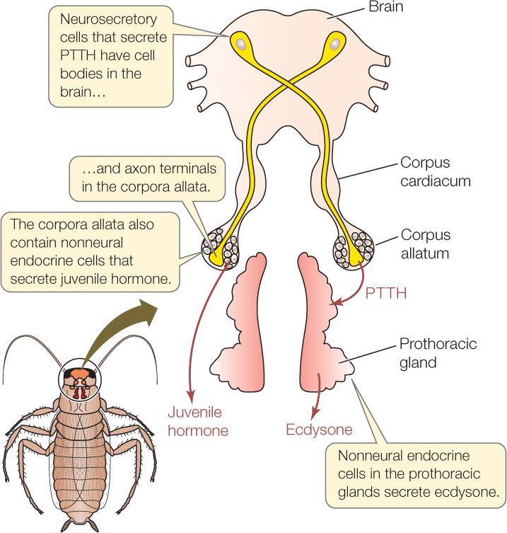 Insect Endocrine Glands – Zoology Notes – For W.B.C.S. Examination.