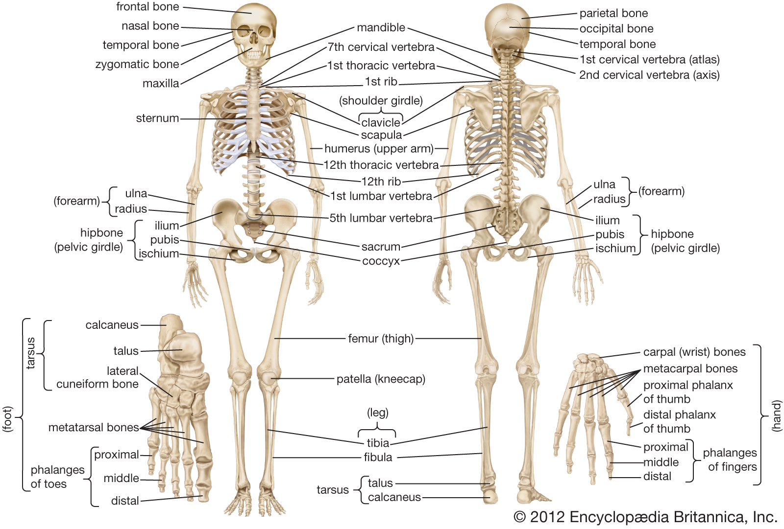 Skeletal System – General Science Notes – For W.B.C.S. Examination.