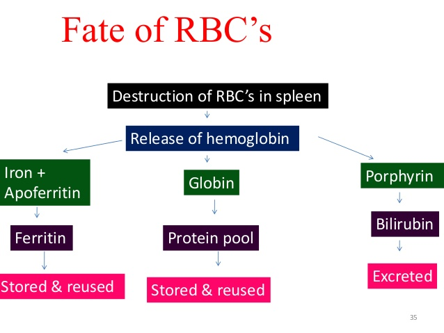 W.B.C.S. Examination Notes On- FATE OF THE RED BLOOD CELLS – Medical Science Notes.