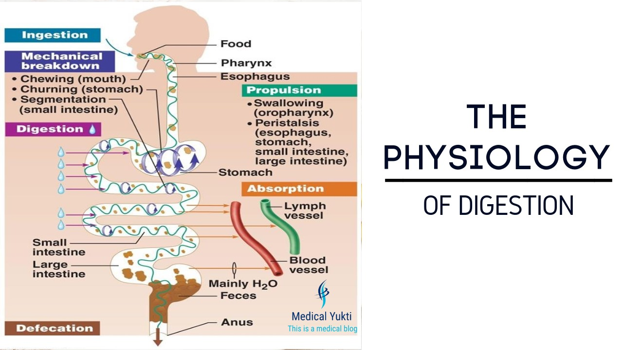 W.B.C.S. Examination Notes On – Physiology Of Digestion – Zoology Notes.