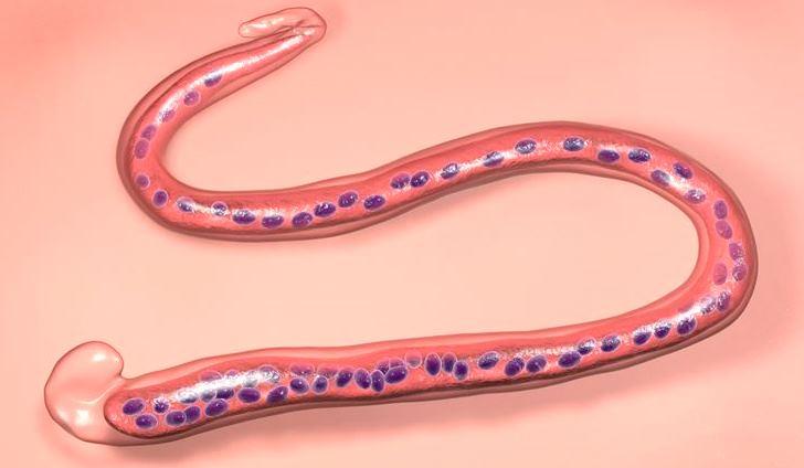 Life-Cycle – Pathogenecity And Control Of  Wuchereria – Zoology Notes – For W.B.C.S. Examination.