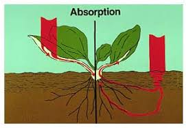 W.B.C.S. Examination Notes On – Absorption Of Water In Plants – Agriculture Notes.