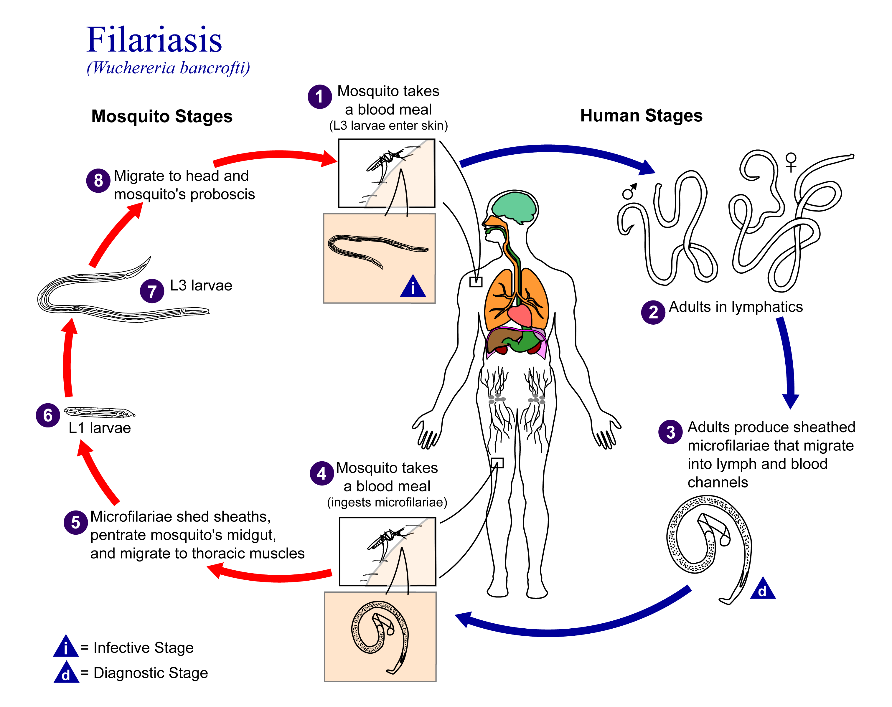 Zoology Notes On – Filariasis – For W.B.C.S. Examination.