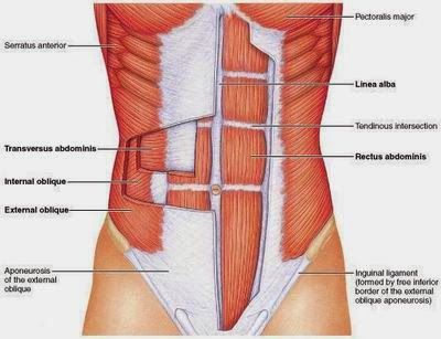 Medical Science Notes On – Abdominal Muscle – For W.B.C.S. Examination.