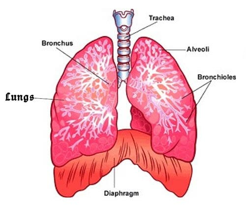 W.B.C.S. Examination Notes On – Diaphragm Anatomy – Medical Science Notes.