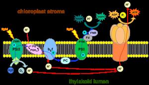 Photophosphorylation-Botany-Notes-For-W.B.C.S.-Examination.