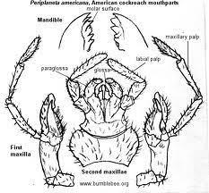 W.B.C.S. Examination Notes On – Mouth Parts Of Periplaneta – Zoology Notes.